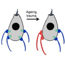 Found: A Likely New Contributor to Age-Related Hearing Loss