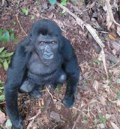 Rescued orphan Grauer�s gorilla Ihirwe