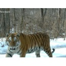 Amur tigers on the rise, according to latest figures
